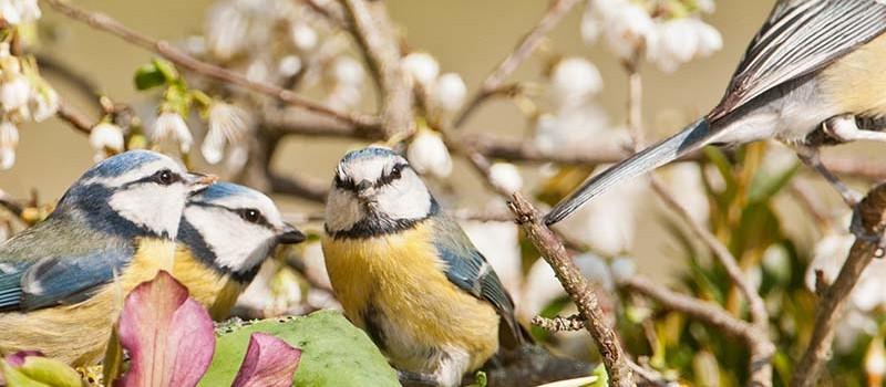 Oiseaux Calès